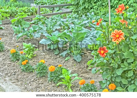 Ornamental vegetable garden with cabbage sprouts, blossoming marigolds and dahlias, close up - stock photo