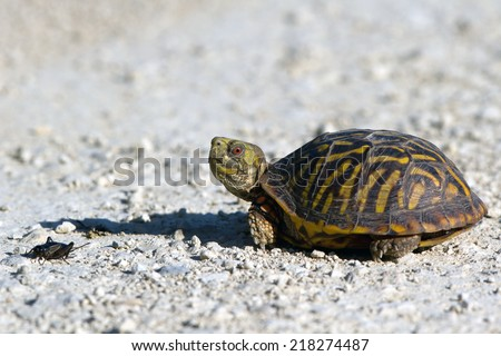 Ornate Box Turtle encounters a cricket at Quivira National Wildlife Refuge in Kansas