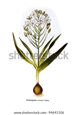 """Ornithogalum arianum Lipsky - an illustration from the book """"Species of flowers bulbes of the Soviet Union"""", Moscow, 1935 - stock photo"""