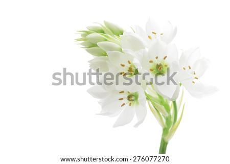 Ornithogalum isolated on white background  - stock photo