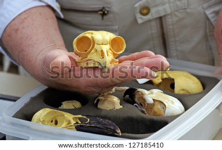 Ornithologist holds the skull of a great horned owl, demonstrating the  large eye sockets - stock photo