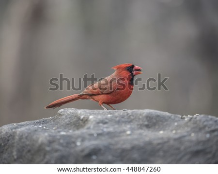 orthern cardinal,Cardinalis cardinalis, is a North American bird in the genus Cardinalis; it is also known colloquially as the redbird - stock photo