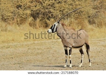 Oryx - African Wildlife Background - Gemsbok beauty and markings