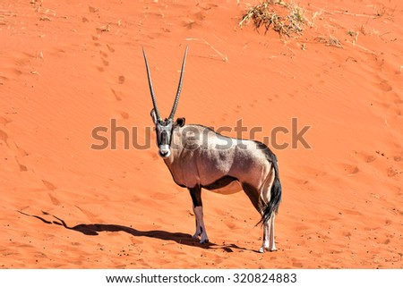Oryx along the desert landscape in the NamibRand Nature Reserve in Namibia.