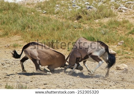 Oryx Fight - African Wildlife Background - Dominance in Nature - stock photo
