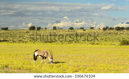 Oryx (Gemsbok) grazing in the riverbed in Kgalagadi Transfrontier park, South Africa - stock photo