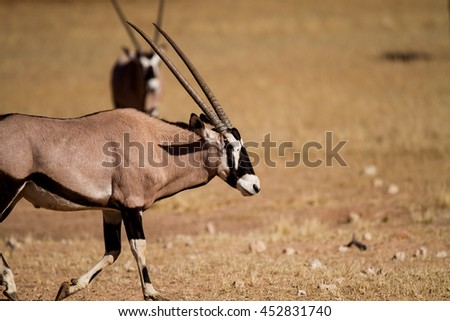 oryx in the kalahari - stock photo