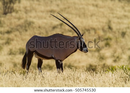 oryx in the kalahari
