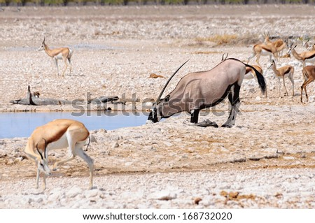 Oryx kneeling to drink in Etosha National Park Namibia - The Oryx is a large antelope in the Oryx genus. It is native to the arid regions of Southern Africa, such as the Kalahari and the namib desert. - stock photo