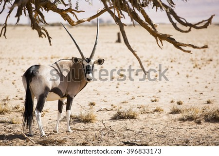 Oryx walking in the desert with tree