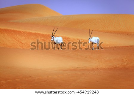 Oryxes or Arabian antelopes in the Desert Conservaion Reserve near Dubai, UAE