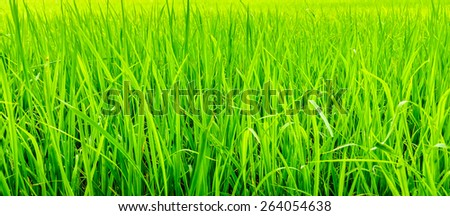 Oryza sativa grass paddy field in Thailand. It is commonly known as Asian rice. - stock photo