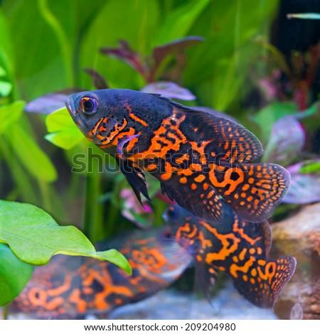 Oscar fish in Aquarium, Astronotus ocellatus. aquarium with green plants, snag and stones. isolated fish close up. - stock photo
