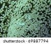 oshima anemona crab - stock photo