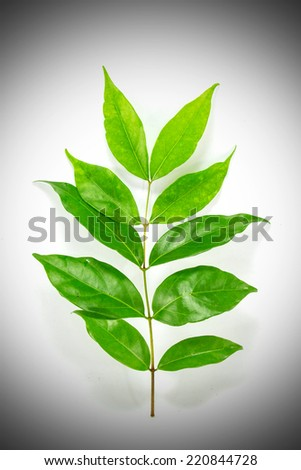 Osmanthus green leaf