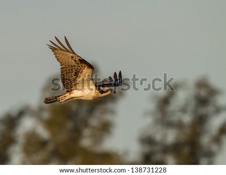 Osprey, a bird of prey, in flight - stock photo