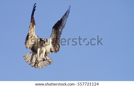 Osprey, a.k.a. Sea Hawk, Fish Hawk, Sea Eagle, flying with wings open carrying a stick to the nest, isolated against a background of clear blue sky