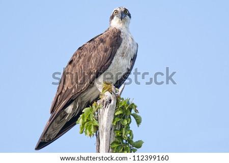 Osprey at Sanibel Island, Florida - stock photo