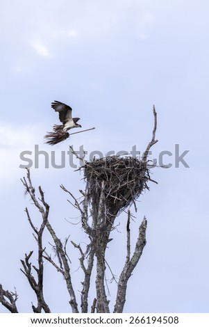Osprey bringing nesting materials to nest looks like it's riding a witches broom!  Did the mother osprey decide it was time for some spring cleaning and to sweep out the nest? - stock photo