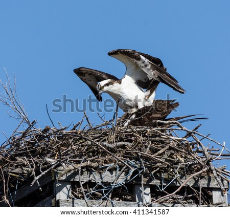 Osprey Building the Nest