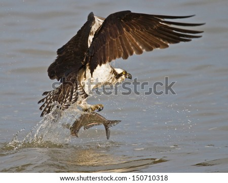 Osprey catching fish from James River, Virginia - stock photo