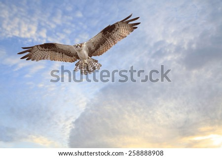 Osprey Coming in for a Landing with Building Material for It's Nest - stock photo