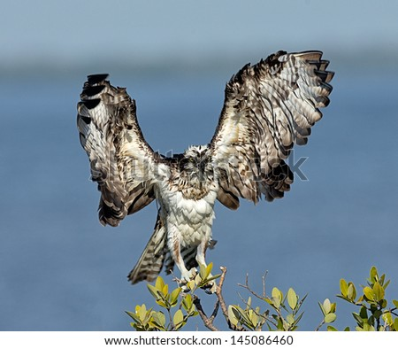 Osprey Drying Wings