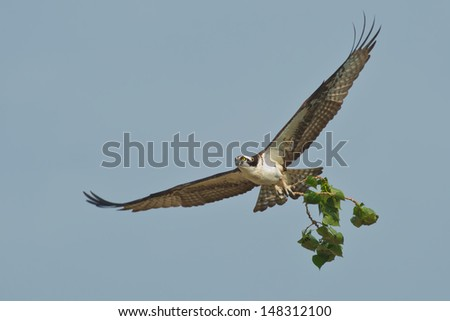 Osprey flying across the sky with nesting material. West Park, Keswick, Ontario, Canada.