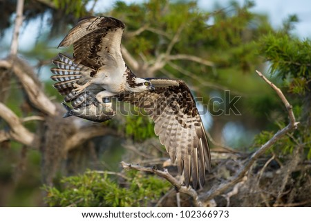 osprey flying with fish in its talons and cypress tree in background
