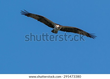 Osprey hunting in blue sky - stock photo