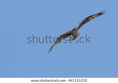 Osprey hunting over Jordan Lake with a blue sky background