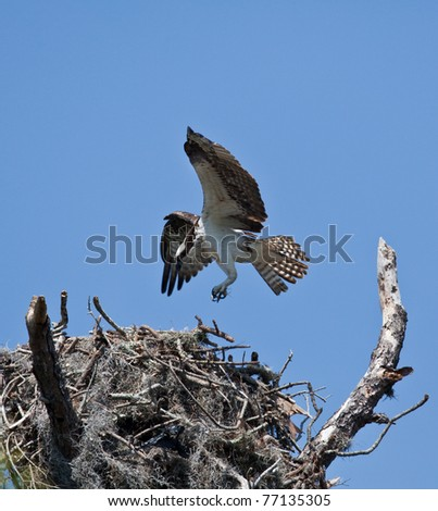Osprey in and around the nest