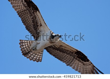 Osprey in flight overhead