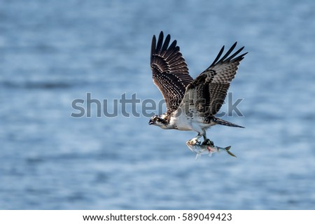 Osprey in Flight With a Freshly Caught Menhaden