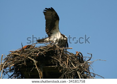 Osprey in nest, with wings extended. Pandion haliaetus