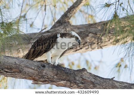 Osprey in Pine on Sanibel Island, Florida - stock photo