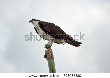 Osprey in the wild at Florida, USA. - stock photo