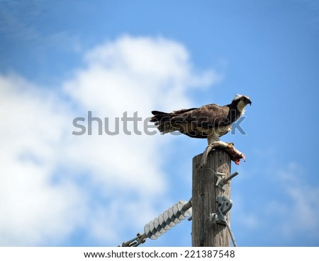 Osprey in the wild feeding on it's caught fish - stock photo