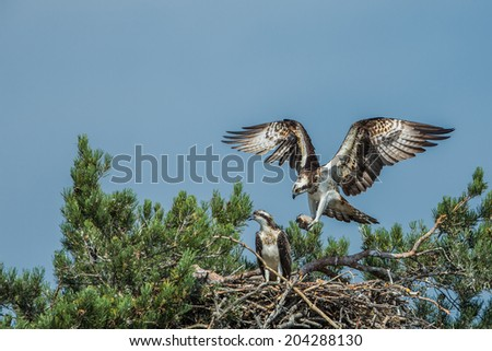 Osprey landing on the nest - stock photo