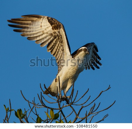 Osprey launches from branch - stock photo