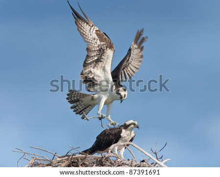 Osprey male with building material landing  on nest, where female waiting for him.  Latin name - Pandion haliaetus. - stock photo