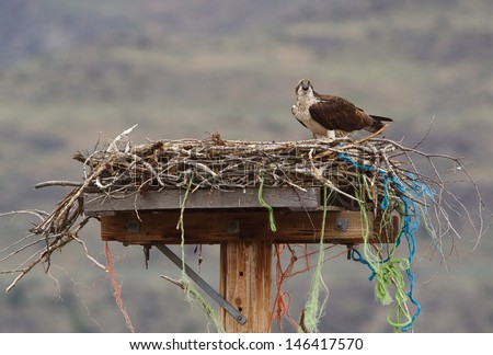 Osprey on nest of twigs, string, and twine atop a man made nesting platform on a telephone pole Osprey, a.k.a. Sea Hawk, Seahawks, Fish Hawk, Sea Eagle, Pandion haliaetus     - stock photo