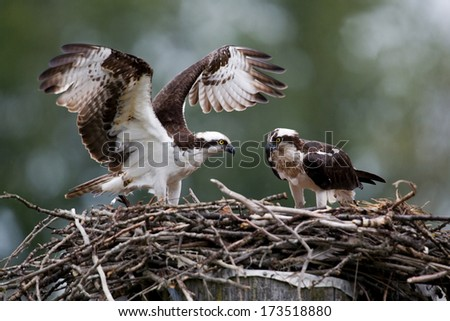 Osprey pair at nest - stock photo