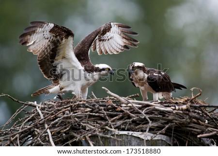 Osprey pair at nest - stock photo