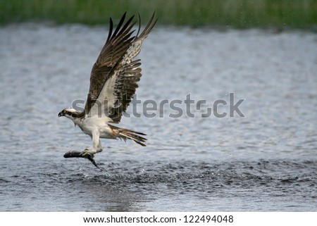 Osprey (Pandion haliaetus) hunting for fish. Taken near Aviemore, Highland, Scotland. - stock photo