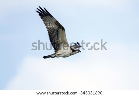 Osprey (Pandion haliaetus) in fly - stock photo
