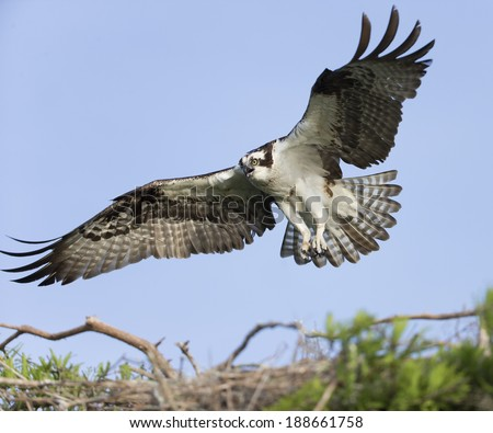 Osprey (Pandion haliaetus) Landing on Branch - stock photo