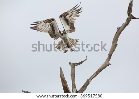 Osprey (Pandion haliaetus) Taking Flight From a Dead Tree with a Piece of Fish in its Talons - Florida - stock photo