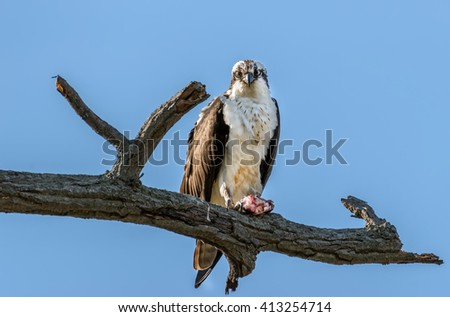 Osprey perched on a branch holding a large Rockfish over the Chesapeake bay in Maryland - stock photo