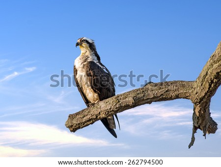 Osprey perched on a tree near sunset over the Chesapeake Bay in Maryland - stock photo